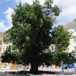 OLD ELM IN SLIVEN
